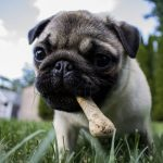 Best Dog Foods for Pugs
